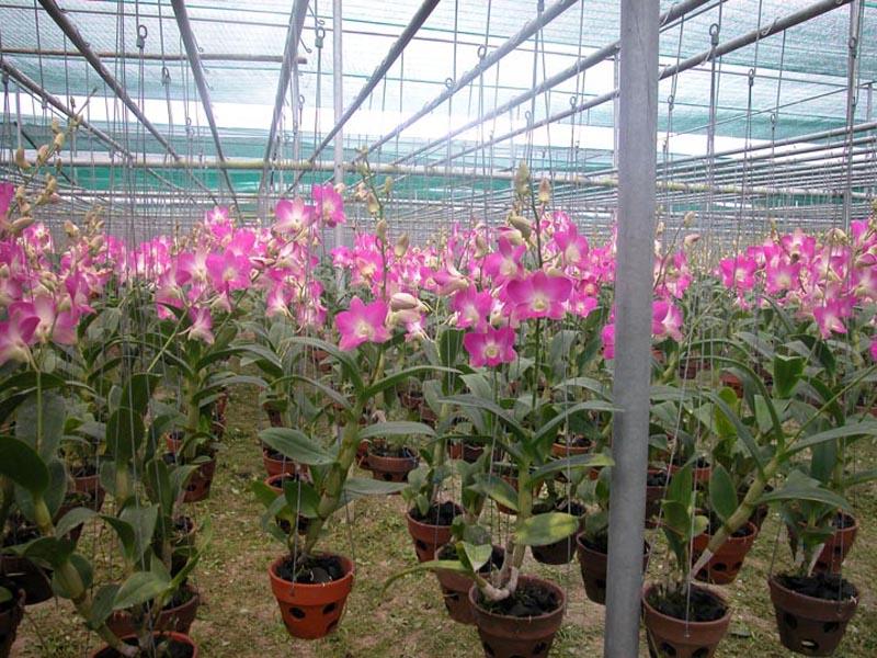 Kỹ thuật trồng và chăm sóc hoa lan dendro